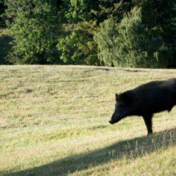 About Cinghiale (Wild Boar)