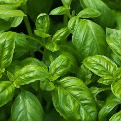 About Pesto Genovese (Basil Pesto Sauce)