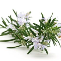 About Rosmarino (Rosemary)