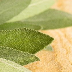 About Salvia (Sage)