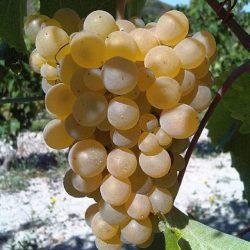 Wine Pairings for Tagliolini con Gamberi, Limone e Panna