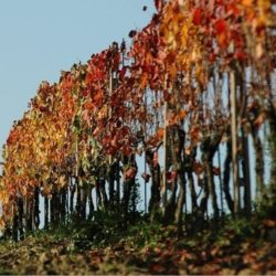 Wine Pairings for Fusilli con Funghi, Pancetta e Pinoli (Mushrooms and Pine Nuts)