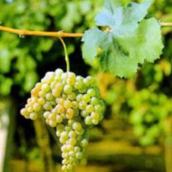 Wine Pairings for Mezza Rigatoni con Zucchini