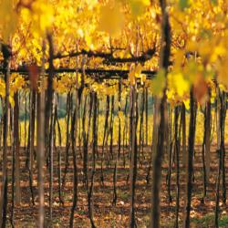 Wine Pairings for Tagliatelle ai Carciofi (Artichokes)