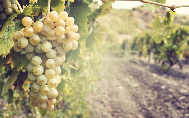 Wine Pairings for Penne con Zucchini e Pancetta